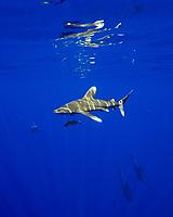 oceanic whitetip sharks, Carcharhinus longimanus, and short-finned pilot whales, Globicephala macrorhynchus, Hawaii, Pacific Ocean