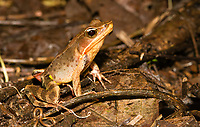 Brilliant Forest Frog, Lithobates warszewitschii, near Arenal Volcano National Park, La Fortuna, Costa Rica