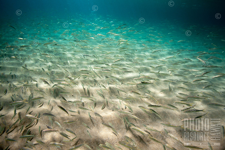 A large school of oama (or juvenile goatfish, or juvenile weke) swim along the sandy bottom of Waimea Bay, O'ahu.
