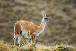 Guanaco (Lama guanicoe) in rainfall, Torres del Paine National Park, Patagonia, Chile