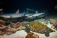 whitetip reef sharks, Triaenodon obesus, hunting on the reef at night and as a green sea turtle, chelonia mydas tries to sleep, cocos island, costa rica, pacific ocean