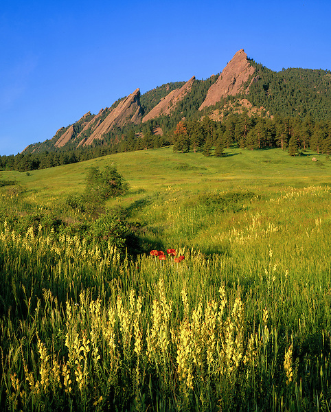 Wildfowers in Chautauqua Park, Flatirons rock formation, Boulder, Colorado, .  John leads private photo tours in Boulder and throughout Colorado. Year-round Colorado photo tours.
