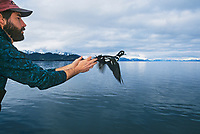 Scientist Dan Esler releases male Harlequin duck after data collection. Research, related to the Exxon Valdez Oil Spill, Prince William Sound, Alaska