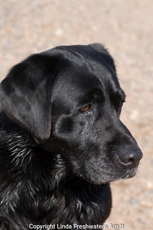 Black Labrador retriever (AKC) looking intently at something