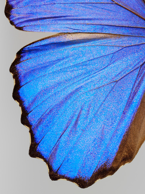 Close up of the wing of a Brazilian Blue butterfly photo. Funky stock butterfly photos