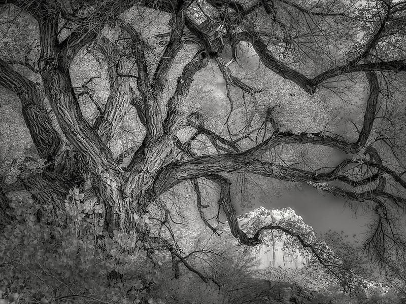 Old cottonwood tree and cliffs around Fruita, Capitol Reef National Park, Utah