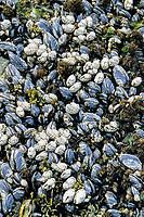 mussels, Mytilus californianus, barnacles, Balanus sp., Shi Shi beach, Olympic National Park, Olympic Peninsula, Washington, USA, Pacific Ocean
