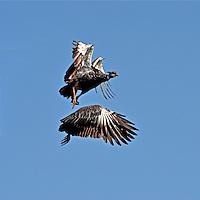 Animais. Aves. Anhuma (Anhima comuta). MS. Foto de Antonio Siqueira.