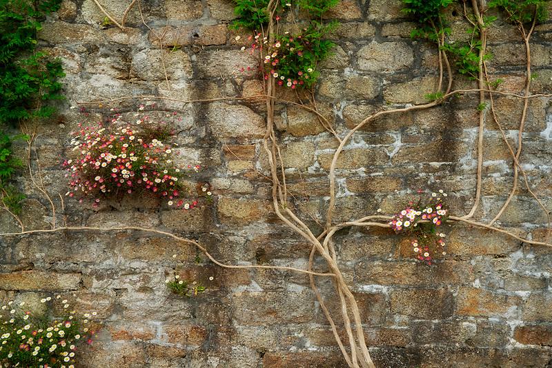 Climbing flower on rock wall. Trewidden Gardens, Cornwall, England