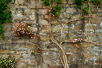 Climbing flower on rock wall. Trewidden Gardens, Cornwall, England