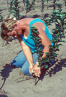 Grafting fruit trees, showing woman working on rootstock and scion
