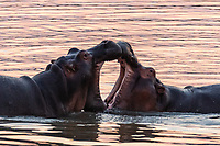africa, Zambia, South Luangwa National Park, group of hippo cubs play the fight