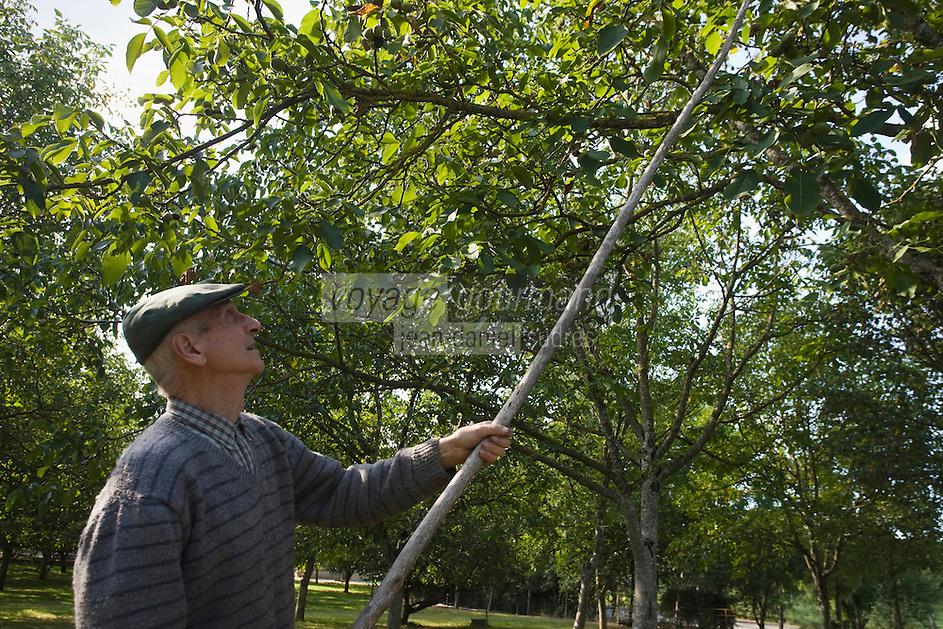 Europe/France/Midi-Pyrénées/46/Lot/Causse de Martel/Env Martel: Moulin à huile de noix- Mr Castagné récolte les noix à l'aide d'une gaule  Auto N°: 2008-211