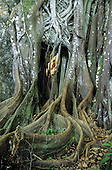Itaparica Island, Bahia, Brazil. Tangled tree roots with lichen growing on them.
