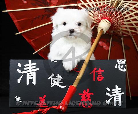 Xavier, ANIMALS, dogs, photos(SPCHdogs288,#A#) Hunde, perros
