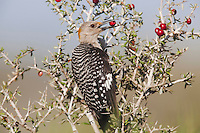 Golden-fronted Woodpecker (Melanerpes aurifrons), adult eating berries, Sinton, Corpus Christi, Coastal Bend, Texas, USA