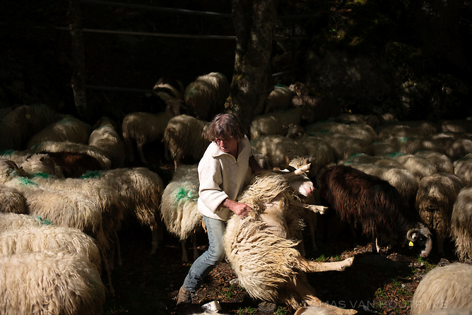 Joseph Paroix carries an ewe to place a bell collar on it before bringing his sheep down the mountains from their summer pastures at the end of the grazing season in Vallée d'Ossau, in the Pyrenees in France on Oct. 3, 2014.