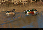 Northern Shoveler Male and Molting Male, Drake and Young Drake, Bosque del Apache Wildlife Refuge, New Mexico
