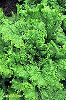 HS21-637x  Lettuce - Simpson Elite variety - leaf lettuce Green Grand Rapids