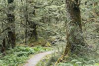 Tramping track through native beech forest in Matukituki Valley, Mt. Aspiring National Park, Central Otago, South Island, UNESCO World Heritage Area, New Zealand, NZ