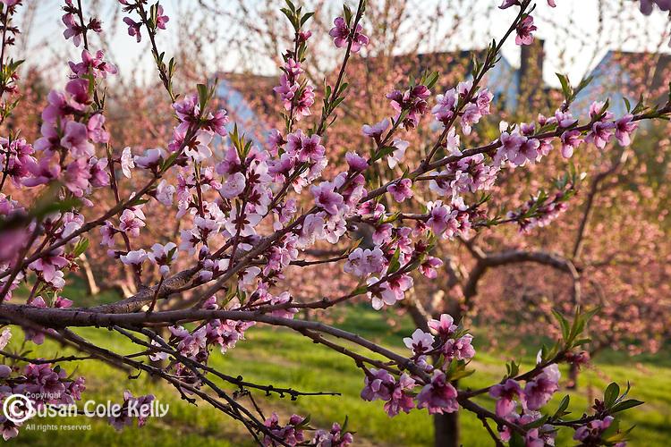 Peach orchard in Hollis, NH, USA