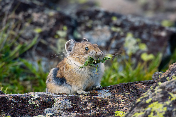 American pika (Ochotona princeps) with mouthful of plant material destine for one of its haypiles--winter food supply.  Beartooth Mountains, Wyoming/Montana.  Summer.  This photo was taken in alpine setting at around 11,000 feet (3350 meters) elevation.