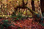 Rain forest near Lake Quinault, Olympic Penninsula, Washington, Olympic National Park, with moss drapped maples and falling leaves. Olympic Peninsula