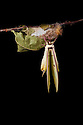 Indian Moon Moth / Indian Luna Moth {Actias selen} emerging from cocoon.  Captive. Sequence 15 of 24. website