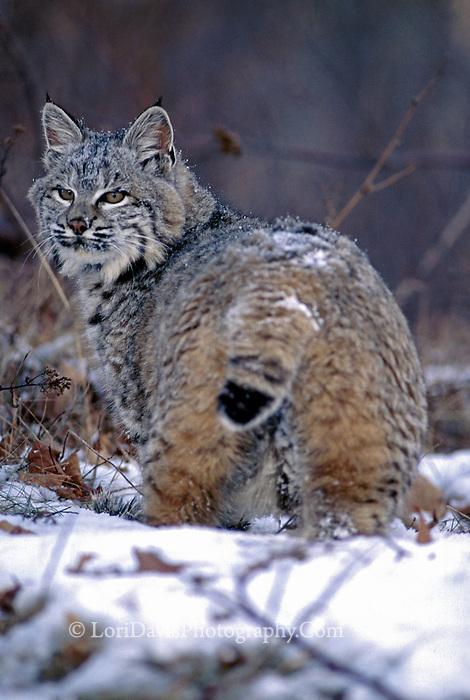 Bobcat in Snow  #C6