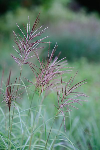 Miscanthus sinensis Rotsilber