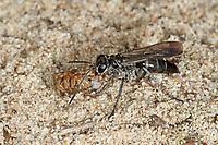 Bleigraue Wegwespe, mit erbeuteter Spinne, Pompilus cinereus, Pompilus plumbeus, Sphex cinerea, Pompilus pruinosus, leaden spider wasp, Pompilidae, Wegwespe, spider wasps, pompilid wasps, spider wasp, pompilid wasp, les Pompiles
