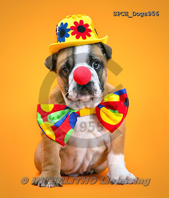 Xavier, ANIMALS, REALISTISCHE TIERE, ANIMALES REALISTICOS, dogs, photos+++++,SPCHDOGS956,#a#