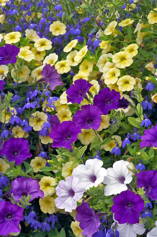 Close up of Petunia baskets at Oregon Garden. Oregon