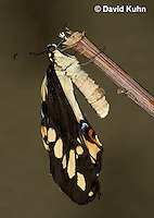 1020-0820  Giant Swallowtail Butterfly Recently Emerged from Chrysalis Drying Wings (Life Cycle Series), Papilio cresphontes © David Kuhn/Dwight Kuhn Photography.