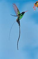 Red-billed Streamertail, Trochilus polytmus, male feeding on flower, Rocklands, Montego Bay, Jamaica, Caribbean