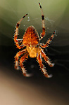 Orbweaver Spider, Cross orbweaver female, Descanso Gardens, Southern California