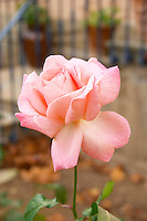 Chateau Mansenoble. In Moux. Les Corbieres. Languedoc. In the garden. Rose flower. France. Europe.