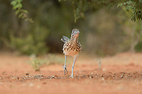 Greater Roadrunner (Geococcyx californianus), adult running, Rio Grande Valley, South Texas, Texas, USA