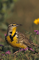 Eastern Meadowlark, Sturnella magna, adult in wildflowers, Willacy County, Rio Grande Valley, Texas, USA, April 2004