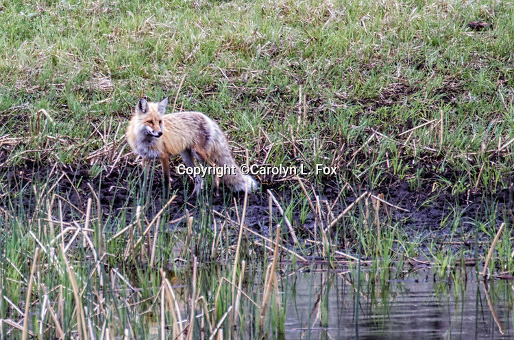 A red fox stands by a pond in Yellowstone.