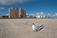 Least Tern on nest at beach, South Padre Island, Texas