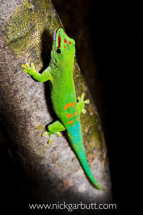 Giant Day Gecko (Phelsuma madagascariensis grandis) basking on tree trunk. Ankarana Reserve, northern Madagascar.