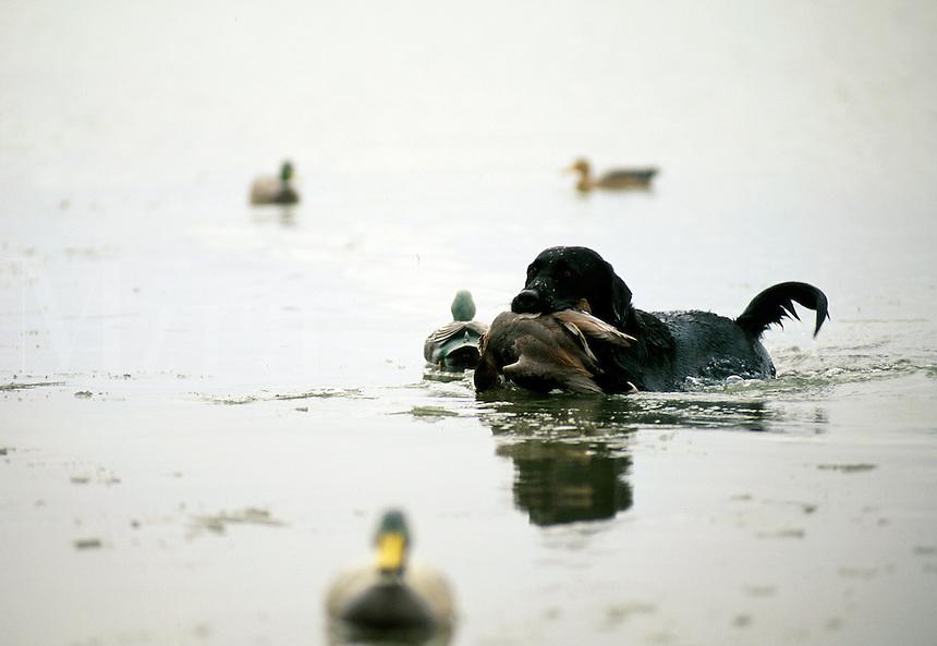 A Black Labrador dog retrieves ducks from water.