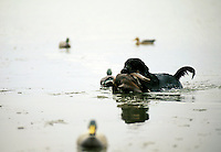 A Black Labrador dog retrieves ducks from water.