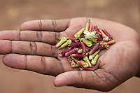 Zanzibar, Tanzania.  Hand Full of Picked Clove Buds.