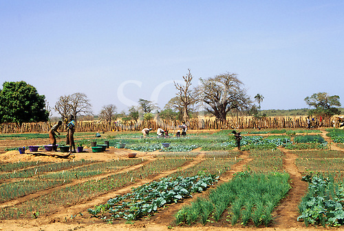 The Gambia. People working in a vegetable garden, growing vegetables for tourists.