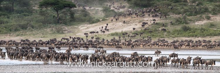 Herds of white-bearded wildebeest (Connochaetes taurinus albojubatus) crossing Lake Ndutu on migration, Ngorongoro Conservation Area / Serengeti National Park, Tanzania, East Africa (digitally stitched image)