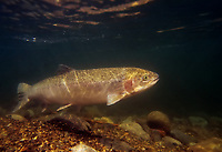 Wild winter steelhead (Oncorhynchus mykiss) in Pacific Northwest River--she is on spawning migration from ocean up freshwater stream. Steelhead are the anadromous form of the rainbow trout which are from the same general fish family as salmon.