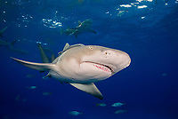 lemon shark, Negaprion brevirostris, with remora, Bahamas, Caribbean Sea, Atlantic Ocean