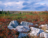 Field of Blueberries in fall color in the Dolly Sods Wilderness Area, Monongahela National Forest, WV